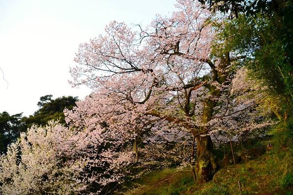 中村の世間桜