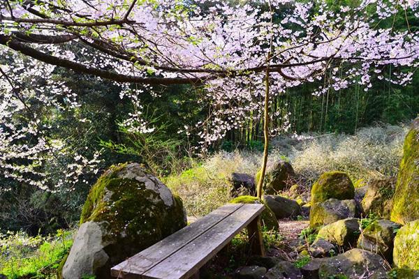 中村の世中桜