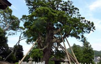 玉若酢命神社の八百杉