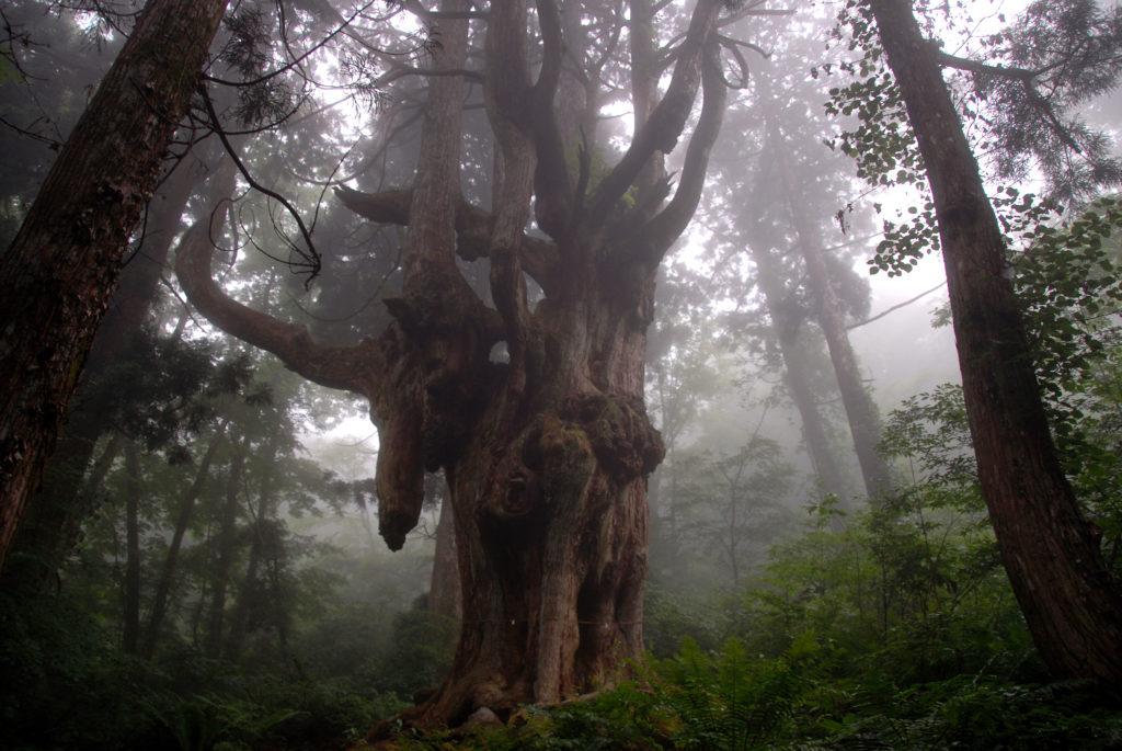 隠岐の木 乳房杉